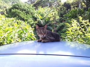 八丈島の猫さん