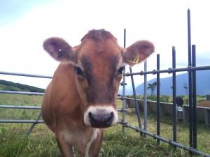 ふれあい牧場の牛